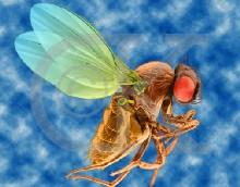 Una mosca genéticamente modificada es controlada a distancia